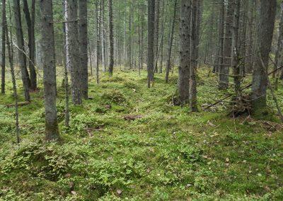 Estonia Beccacce - amienti pineta